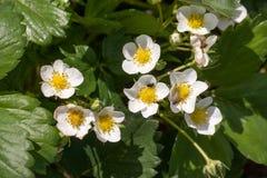 Flor macro de la flor de la fresa del primer en el día de verano soleado Fotos de archivo