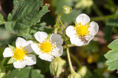 Flor macro de la flor de la fresa del primer en el día de verano soleado Fotos de archivo libres de regalías