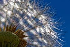 Flor macro del diente de león Imagen de archivo libre de regalías