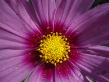 flor macro do cosmos Fotografia de Stock Royalty Free