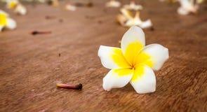 Flor macro do frangipani Imagem de Stock
