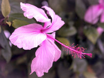 Flor macro no rosa Fotos de Stock