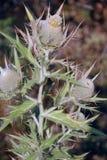 Flor madura - mineração do cardo, foto de stock