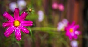 Flor magenta Fotos de archivo libres de regalías