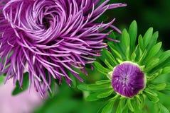 Flor magenta Foto de archivo