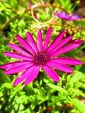 Flor magenta Fotos de Stock Royalty Free