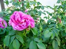 A flor magenta brilhante de um selvagem decorativo aumentou entre a folha verde suculenta Fotos de Stock