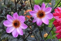 Flor magenta de la dalia de la estrella dos Imagen de archivo libre de regalías