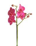 Flor magenta de la orquídea Imagen de archivo libre de regalías