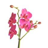 Flor magenta de la orquídea Imágenes de archivo libres de regalías