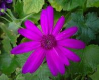 Flor magenta de Senetti Fotos de Stock Royalty Free