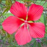 Flor magenta del hibisco Imágenes de archivo libres de regalías