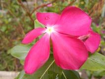 Flor magenta del roseus del catharanthus imagen de archivo