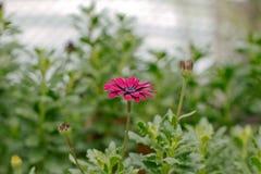 Flor magenta del Zinnia Fotografía de archivo