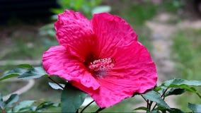 Flor magenta do hibiscus vídeos de arquivo