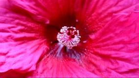 Flor magenta do hibiscus video estoque