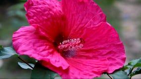 Flor magenta do hibiscus filme