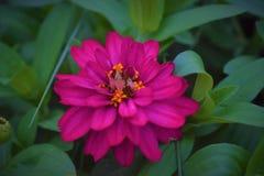 Flor magenta en campo Imagenes de archivo