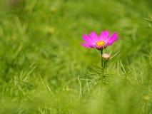 Flor magenta hermosa Foto de archivo libre de regalías