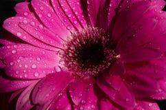 Flor magenta púrpura hermosa aislada en fondo negro gerbera púrpura con descensos de rocío en el top Fotografía de archivo