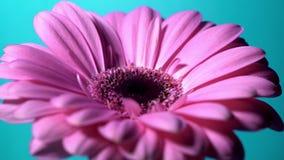 Flor magenta rosada del gerbera que gira de la derecha hacia la izquierda en fondo aislado azul Solo gerbera floreciente hermoso almacen de metraje de vídeo
