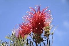 Flor magnífica de Grevillea Fotografía de archivo libre de regalías