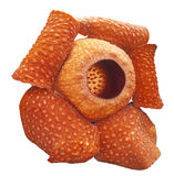 A flor a maior do mundo, tuanmudae de Rafflesia, parque nacional de Gunung Gading, Sarawak, Malásia Fotos de Stock Royalty Free