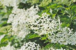 Flor mais velha da planta Fotos de Stock