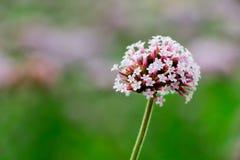 Flor maravilhosa com rosa e com botões Foto de Stock