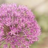 Flor maravillosa de la primavera, detalle grande de la flor del allium imágenes de archivo libres de regalías