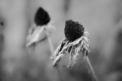 Flor marchitado monocromático foto de archivo