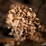 Flor marrón seca Foto de archivo
