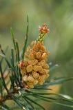Flor masculina del pino de montaña Imágenes de archivo libres de regalías
