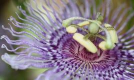 Flor Maypop de la pasión Fotos de archivo