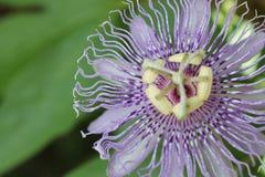 Flor Maypop de la pasión Fotografía de archivo libre de regalías
