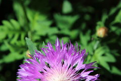 Flor a medias púrpura imagenes de archivo
