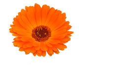Flor medicinal de los officinalis del Calendula Foto de archivo libre de regalías