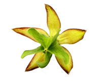 Flor medicinal de Olatkamba Imágenes de archivo libres de regalías