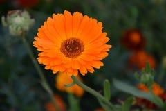 Flor medicinal del Calendula y de x22; Officinalis& x22 del Calendula; Imagenes de archivo