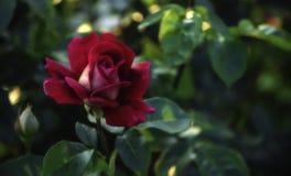 Flor medio abierta delicada de la rosa del rojo Fotografía de archivo