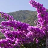 Flor mediterrânea roxa Imagem de Stock Royalty Free