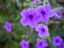 Flor mexicana de la petunia Fotos de archivo