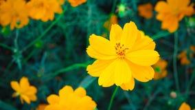A flor mexicana do áster belamente, recebe a luz solar foto de stock