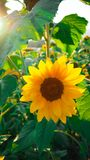 A flor mexicana do áster belamente, recebe a luz solar fotografia de stock
