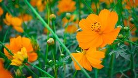 A flor mexicana do áster belamente, recebe a luz solar imagens de stock royalty free