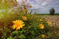 Flor mexicana do tournesol do close up, girassol mexicano, cravo-de-defunto da árvore Imagens de Stock