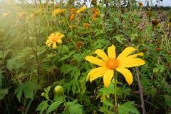 Flor mexicana do tournesol do close up, girassol mexicano, cravo-de-defunto da árvore Fotos de Stock