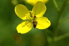Flor minúscula amarela com inseto Imagens de Stock Royalty Free