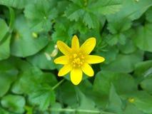 Flor minúscula amarilla en un campo verde Imagenes de archivo