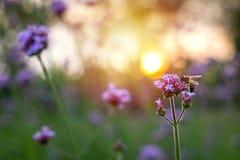 Flor minúscula de la verbena púrpura con la abeja en sol de la mañana Foto de archivo